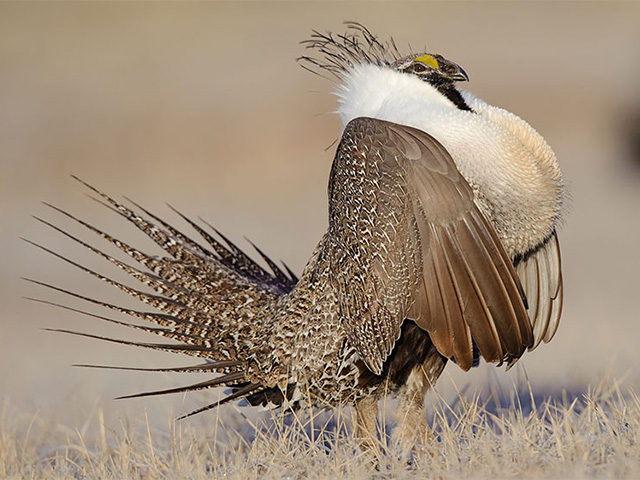 New lawsuits and a truce in sage grouse dispute-4/30/18